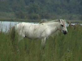 Wild Horse In Dibru Saikhowa National Park