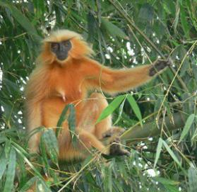 Golden langur in assam Chakrashila Wildlife Sanctuary
