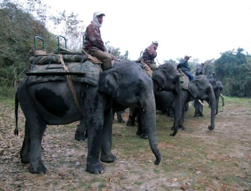 Domestic elephants line up for jungle safari at kaziranga national park