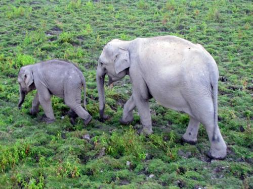 Mother elephant with child in kaziranga national park