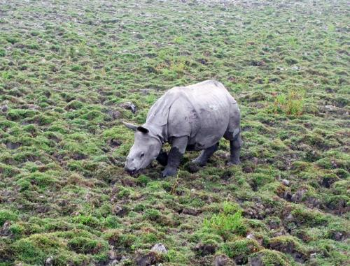 One horned rhino at kaziranga national park