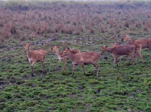 Deers at kaziranga national park