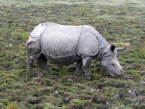 A Injured Rhino in kaziranga national park