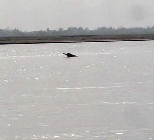 Endangered River Dolphin in Dibru-Saikhowa National Park