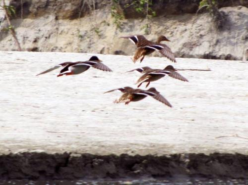 Falcated Duck in Dibru-Saikhowa National Park