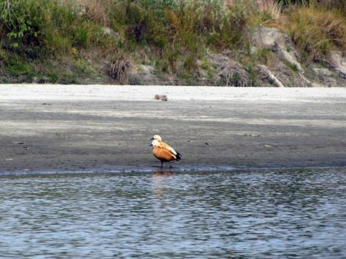 Ruddy Shel Duck in Dibru-Saikhowa National Park