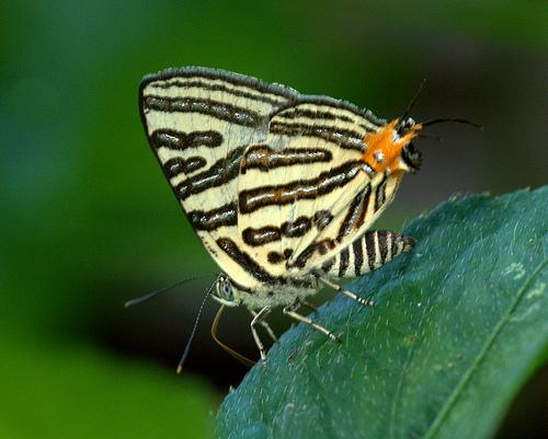 Butterfly at  Manas National Park