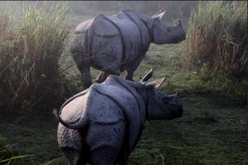 A pair of rhinos in kaziranga national park
