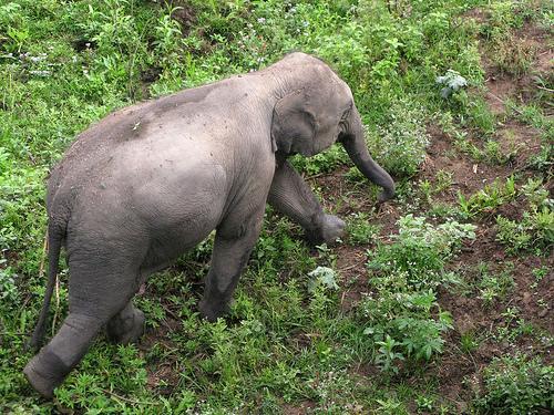 Elephant in Kaziranga National Park